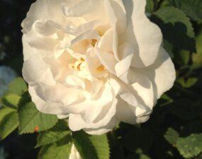 Роза - любимый цветок Екатерины. Парк Кадриорг